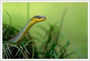Sylvan_Flickr-Snakes-Green-Rama-Narayanan-Movies