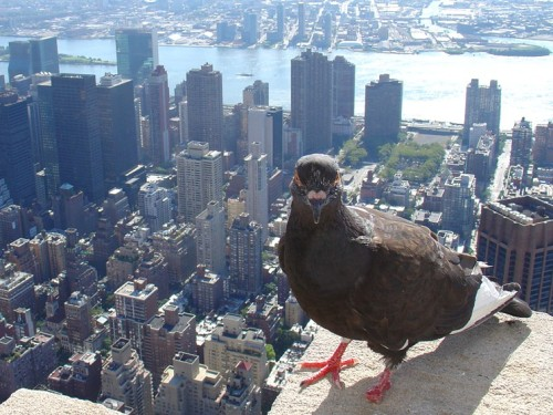 New_York_Pigeon_Sky_Towers